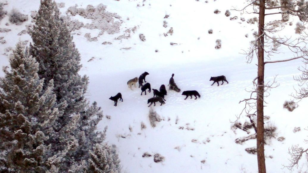 $50K donation aimed at bolstering wolf counting effort in Montana