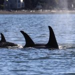 Orcas headed to extinction unless we get them more chinook and quieter waters, report says