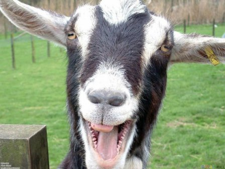 Goats develop wounds around mouth after feeding on thorny bushes