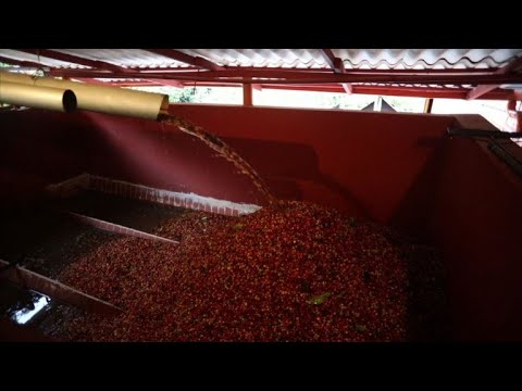 Workers flock to coffee harvest in Colombia