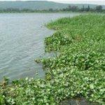 Firm eyes eight-megawatt hyacinth power plant