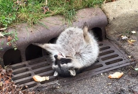 Police help dislodge full-figured raccoon from sewer grate - | WBTV Charlotte