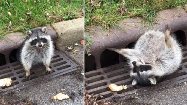 Police called to help raccoon stuck in sewer grate
