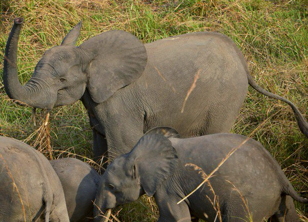 Pres. Trump reverses Obama-era ban on import of elephant trophies from Zimbabwe