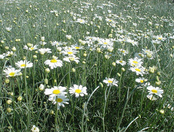 Biotechnology firm Kentegra establishes a 45 acre pyrethrum seedbed