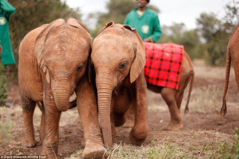 RT @sarah310: The BeKindToElephants hashtag to benefit the orphaned elephants at @DSWT: