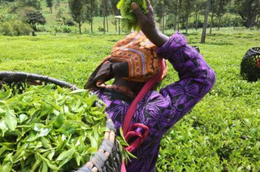 Why Kenyan government must come to the rescue of tea industry