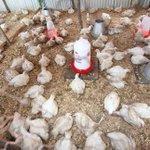 Stop misusing antibiotics in animals, WHO tells farmers