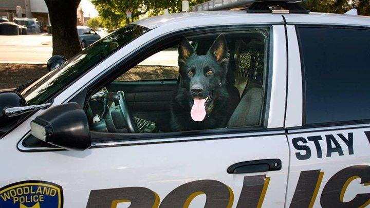 Retired Woodland Police K9 Dies Suddenly AfterIllness
