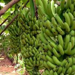 Banana growers cry over construction of international market