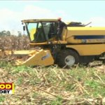 Heavy rains causing maize to rot in the field #FoodFriday