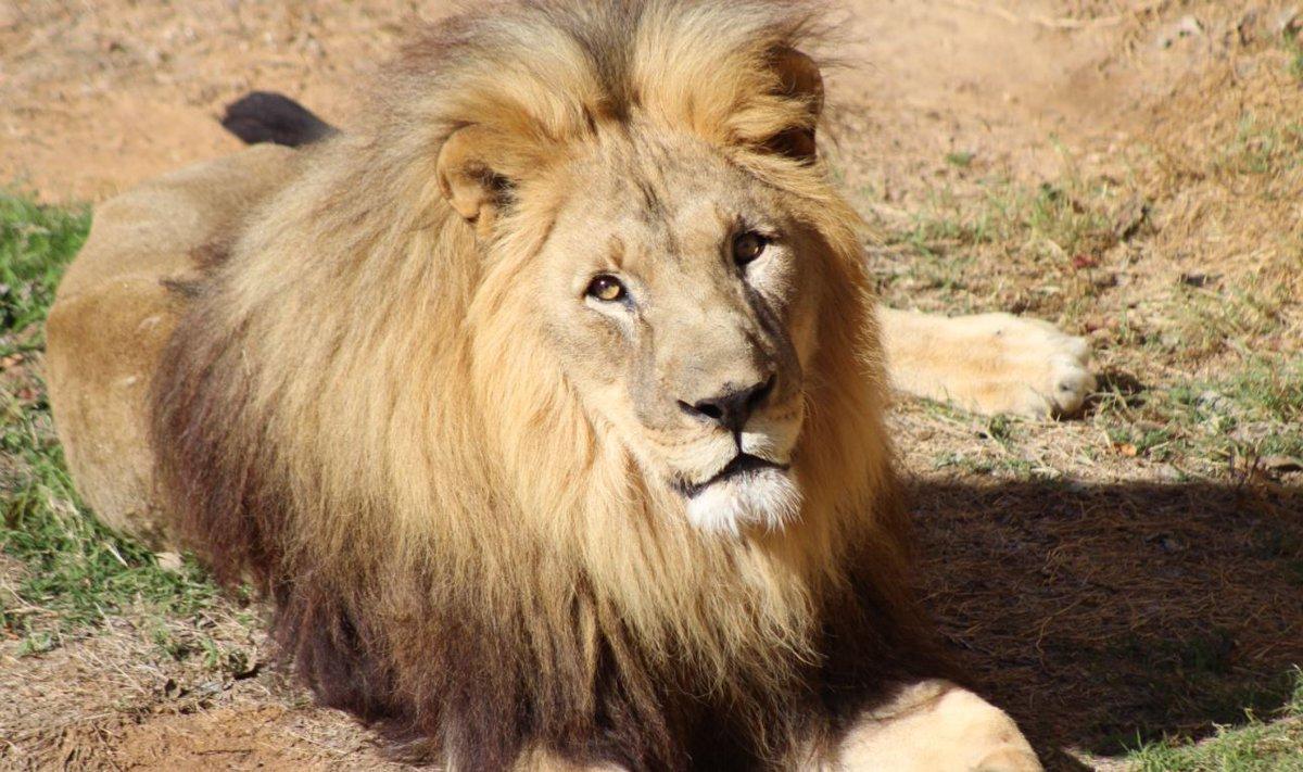 Kofi the African lion dies of renal disease at Tulsa Zoo