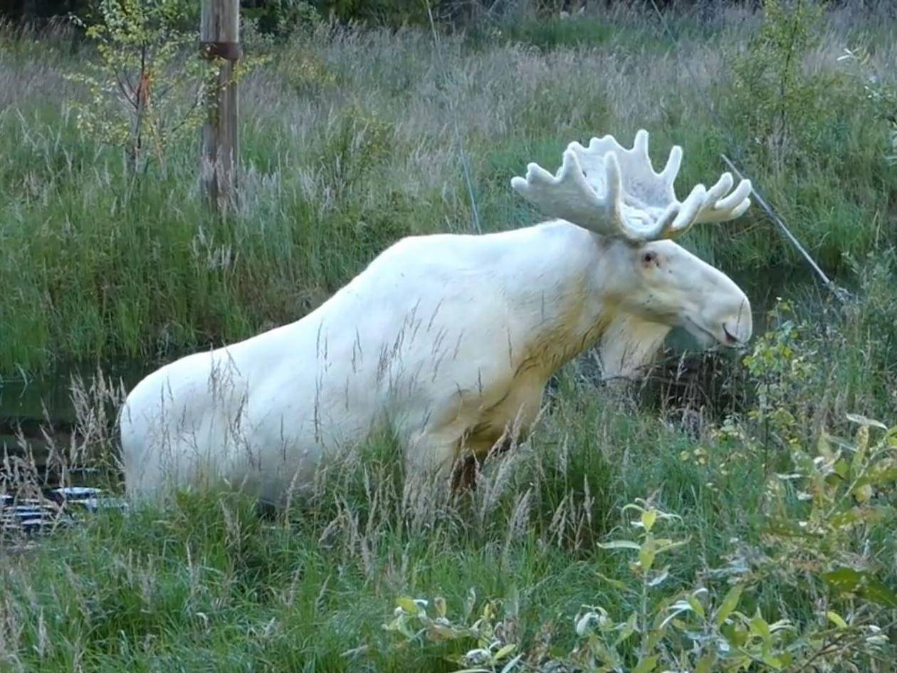 Rare white elk 'could be shot after it charged at woman' https://t.co/EmRDRZvdsq https://t.co/mSj6KX4M1J