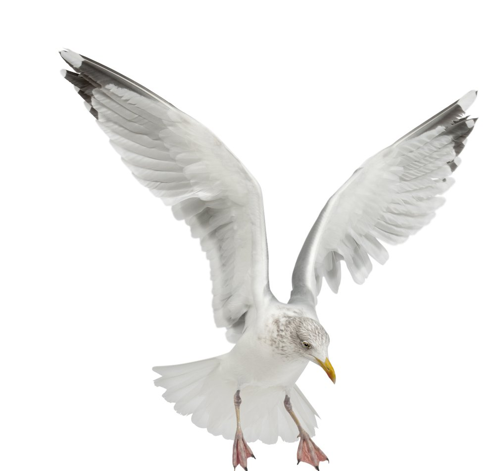 St Ouen terror seagull: Warnings signs to be erected