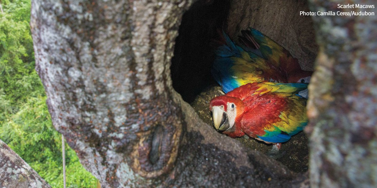 test Twitter Media - To protect Belize's Scarlet Macaws from poachers, a group of bodyguards is on duty day and night for 5 months straight: https://t.co/QSLglmqMOy https://t.co/zsiHXcyGhp