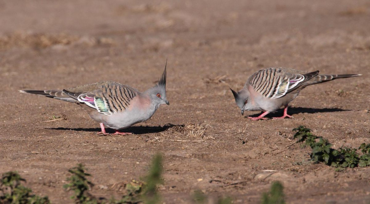 test Twitter Media - The crested pigeon, found in Australia, has a modified wing feather that helps produce an alarm signal sound to warn other birds when there's trouble. https://t.co/6ywaMgSXON [Podcast] https://t.co/Mw5DyK2SzT