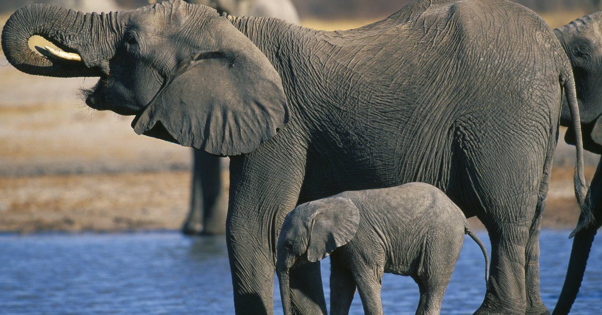 Trump to lift ban on import of elephant trophies from Zambia and Zimbabwe