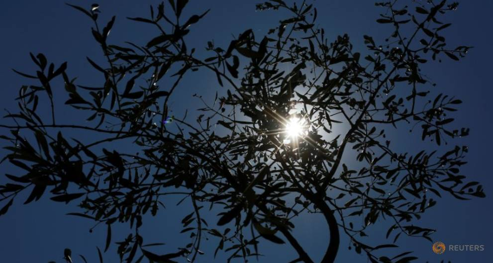 Italy needs to do more against olive tree disease - EU health chief