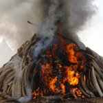 Elephant poaching declines in Kenya, focus turns to world markets