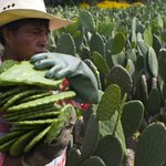 UN dishes up prickly pear cactus in answer to food security
