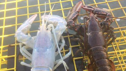 Shell, Lacked? Lobster Catch Might Be Much Less This Year