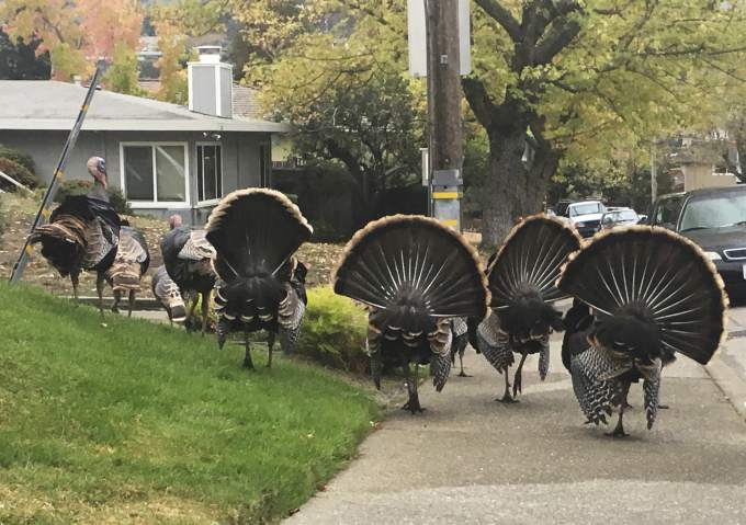 Turkeys thriving, causing ruckus in Bay Area suburbs