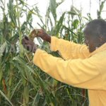 Cereal growers warn of maize shortage over fall army worm