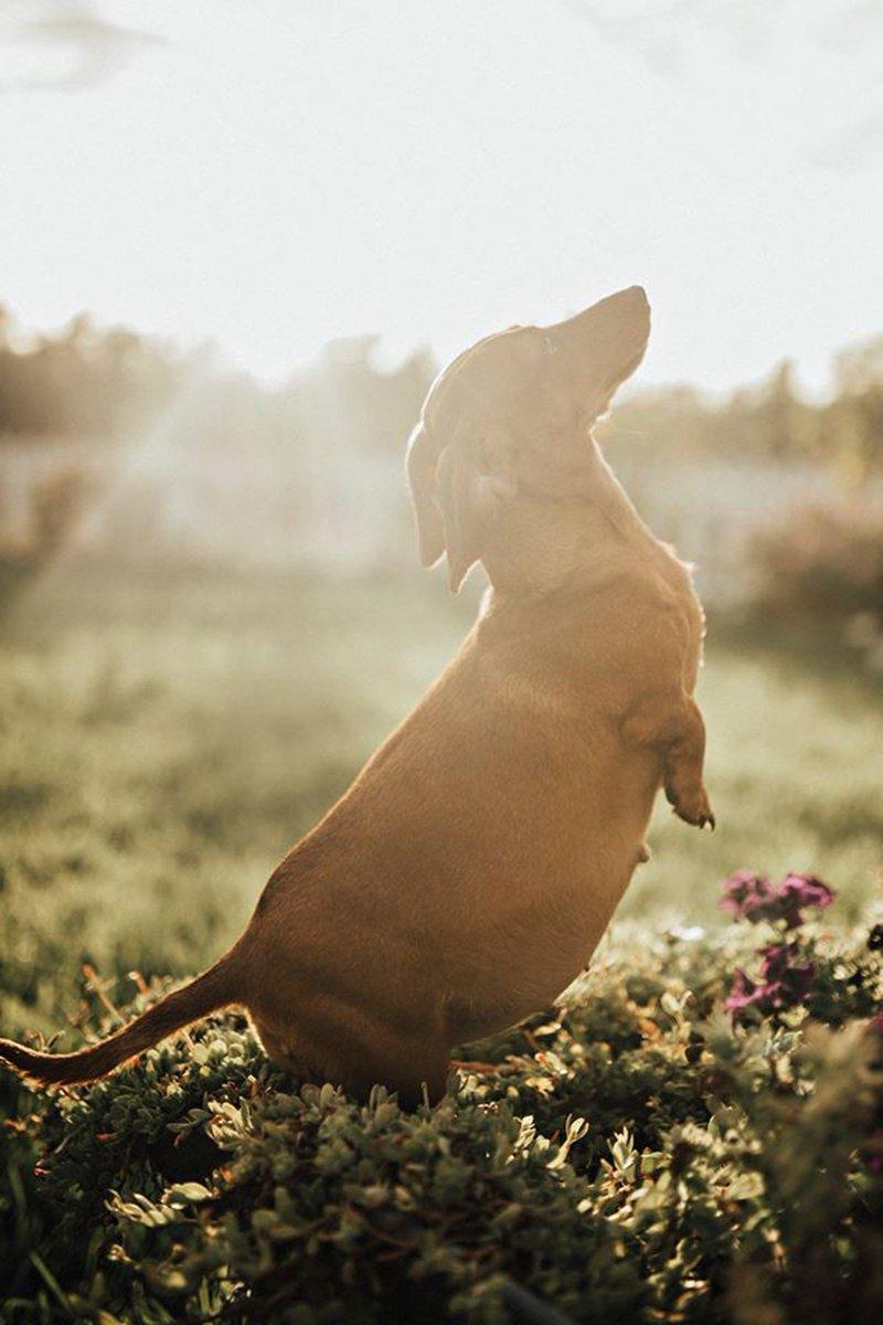 Cachorrinha grávida ganha ensaio fotográfico na Austrália #G1