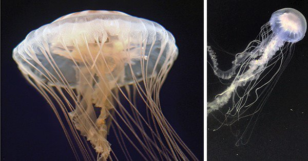 New discovery: Common jellyfish is actually two species