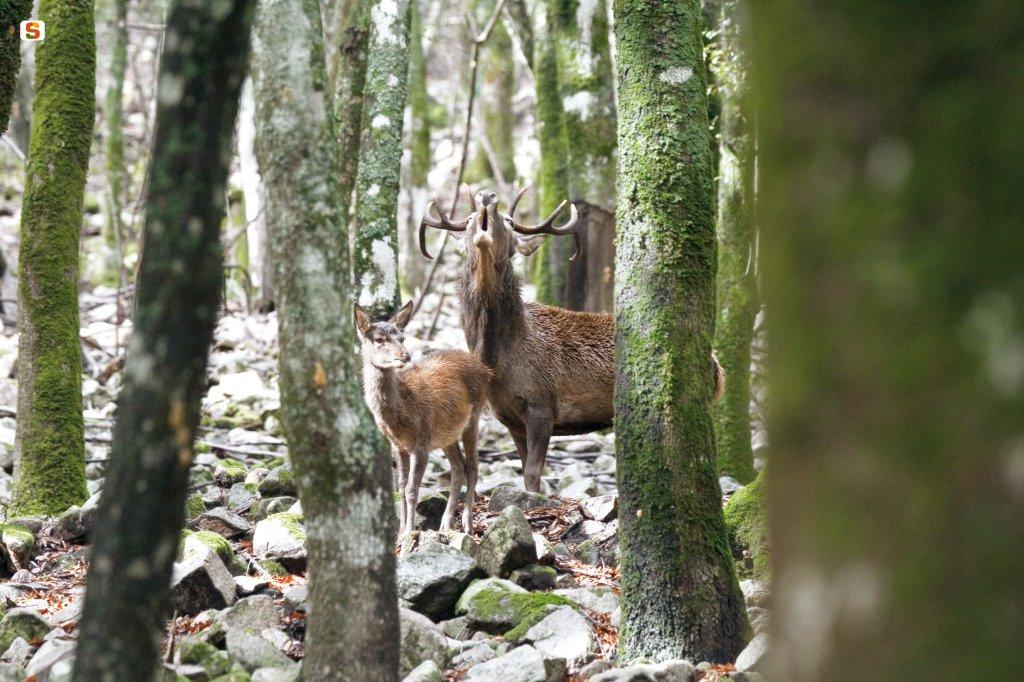 """test Twitter Media - Domani, nel corso della trasmissione di @RaiTre #Geo, parleremo di """"One #deer two #islands"""", progetto @LIFEprogramme finalizzato al miglioramento dello status di conservazione del #Cervo Sardo-Corso. Al link https://t.co/gCyts1JHaw il video dell'attività svolta. Ph. Domenico Ruiu https://t.co/Klh8a8WdrQ"""