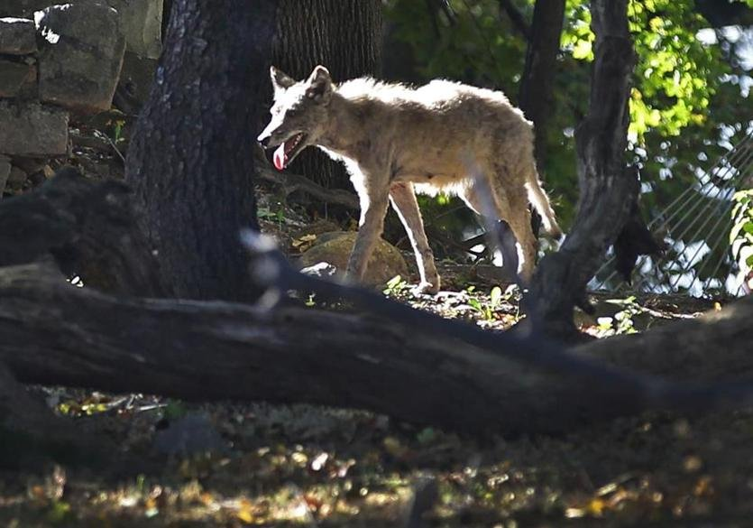 Here's what to do if you encounter a coyote