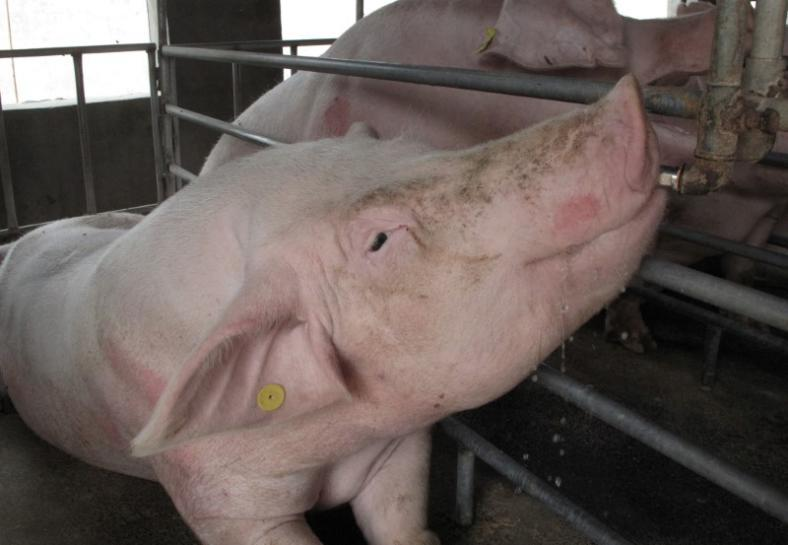 China's pig farmers go north, upending world's top meat, grain market
