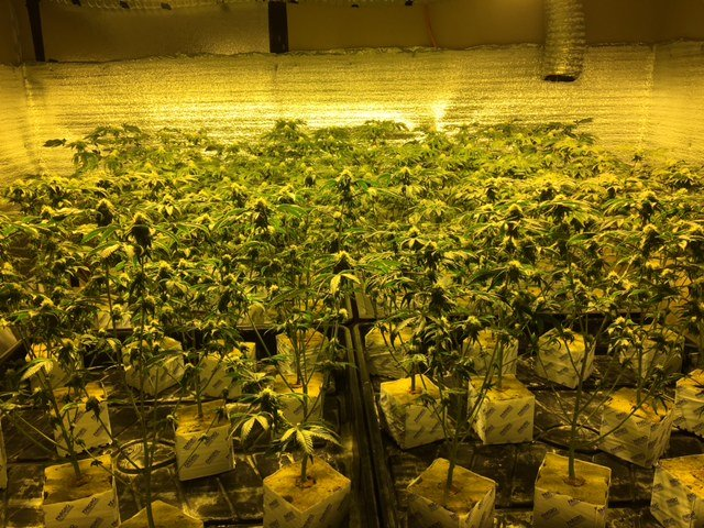 600 Pot Plants Seized In Discovery Bay Bust