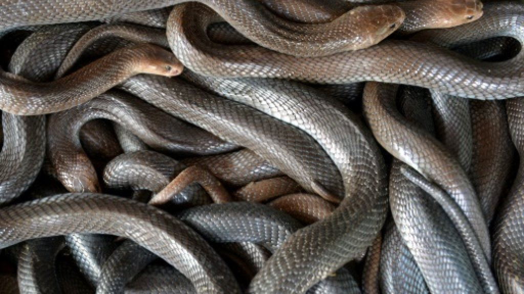 Snake on a train: Indonesian kills serpent with bare hands