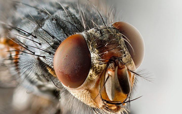 Flies carry more diseases than first thought