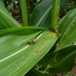 Heavy rains 'will not stop' the spread of armyworm