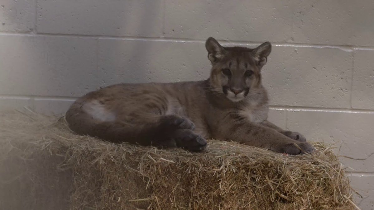 Orphaned Mountain Lion Cubs Taken in by Oakland Zoo