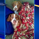 Beagle puppies stolen from Springfield home