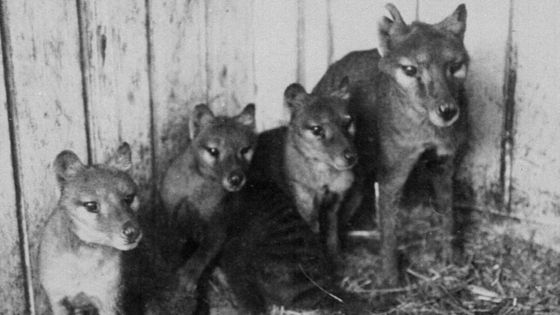 Tasmanian tigers were in poor genetic health, study finds