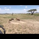 Wildebeest makes a fatal error