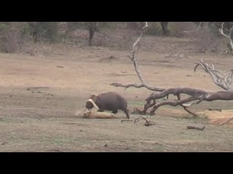 Lost hippo vs hungry lions