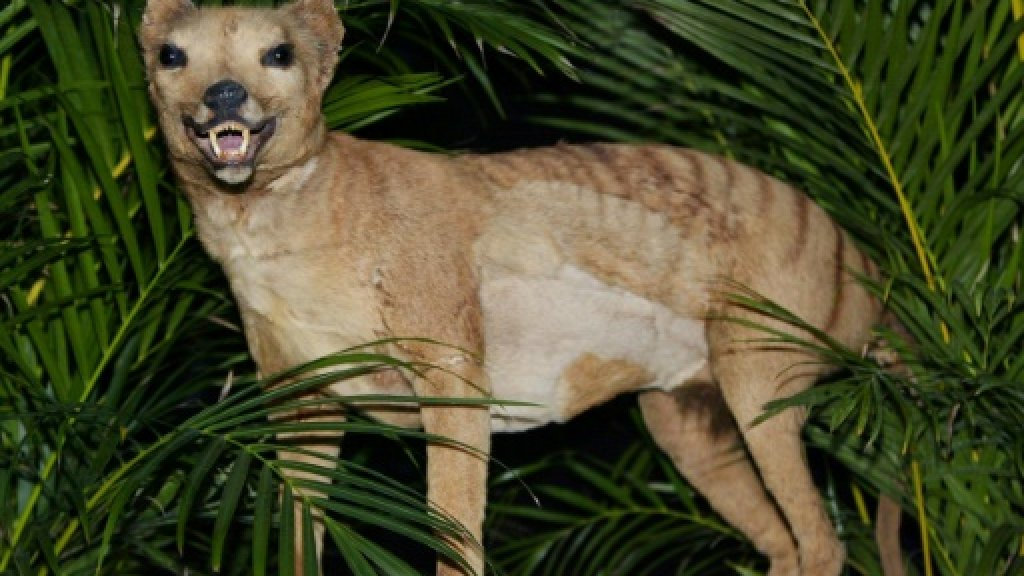 Tasmanian tiger doomed long before humans came along