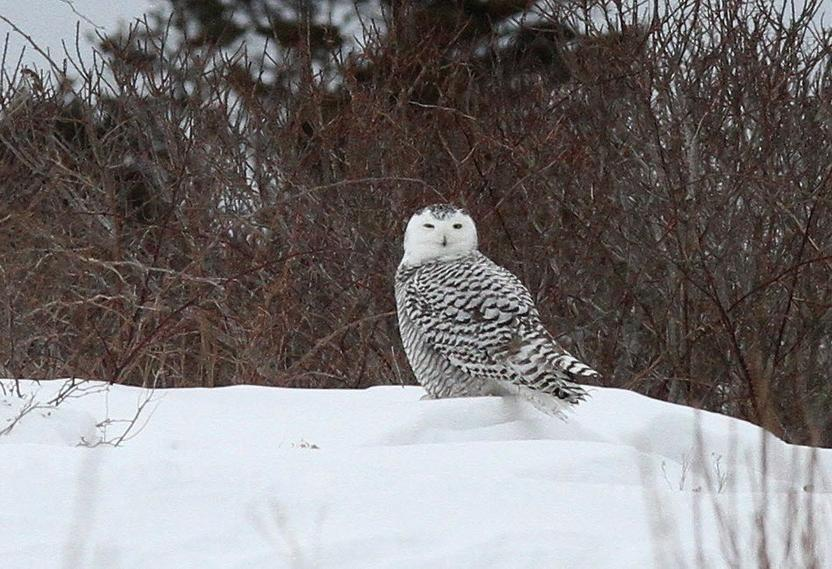 Reports of snowy owl sightings up in Rhode Island