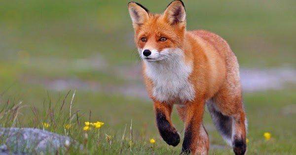 Please help to save the fox in Europe! Plz sign: https://t.co/ye2AkDoxPo https://t.co/guNXB5NnvF