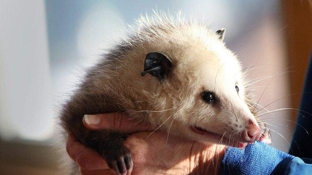 Florida opossum breaks into liquor store and gets drunk as a skunk https://t.co/QOuWJABQ8Y https://t.co/pLGJHttAVW