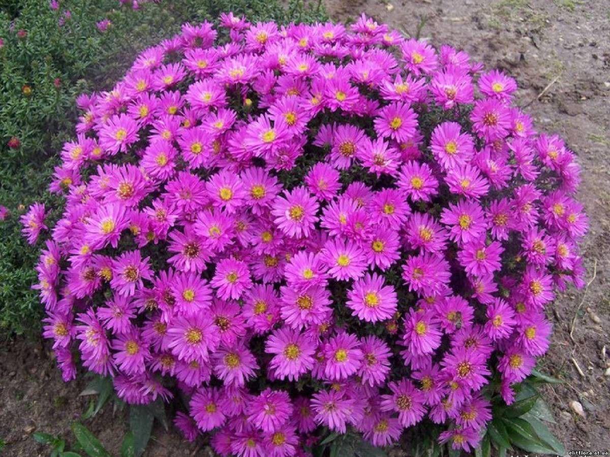 Фото долго цветущих цветов