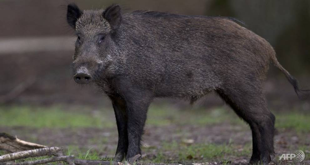 German hunter dies after wild boar he tried to shoot attacks him: Report