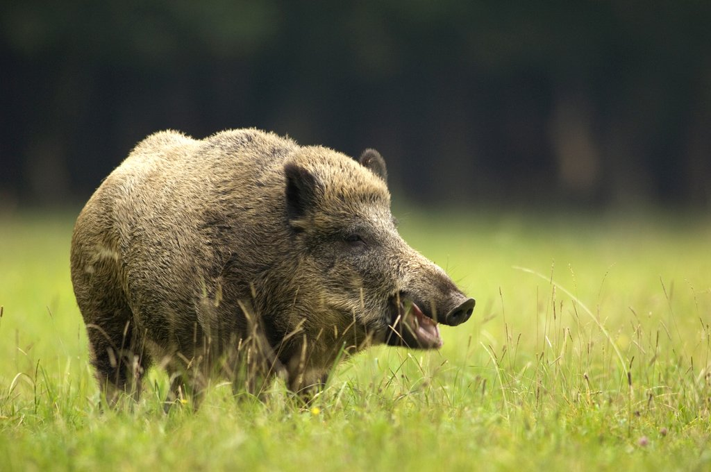 German hunter dies after wild boar he tried to shoot attacks