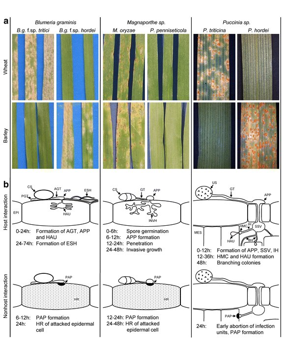 """test Twitter Media - Our joint paper on """"A comparative analysis of nonhost resistance across the two Triticeae crop species wheat and barley"""" is online now:    https://t.co/uftzF7M97L #NonhostResistance #Powderymildew #Rust #Blast #Barley #Wheat https://t.co/ozOr5FfxhD"""