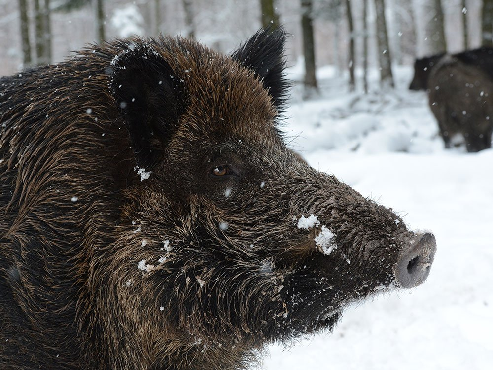 A hunter in Germany tried to shoot a wild boar. But it ended up killing him instead